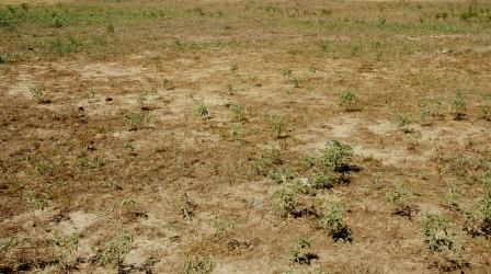 West Texas Drought landscape, dry soil, dry grass, patches of green provided by nightshade. Image provided by B. Fannin, Texas A&M AgriLife